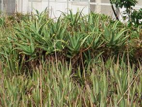 Aloe2
