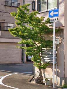 Aokaede1